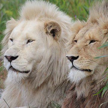 African Cat Sanctuary - Programa de voluntariado en Sudáfrica y Namibia